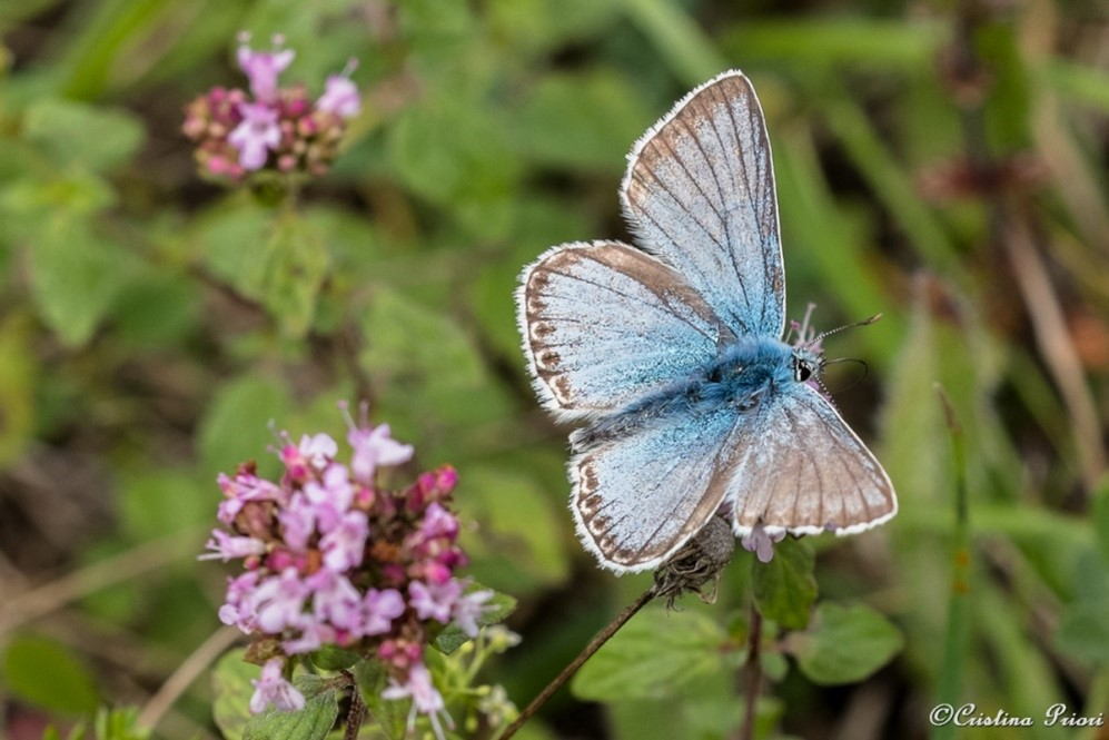 Chalk Hill Blue – male at Darland Banks