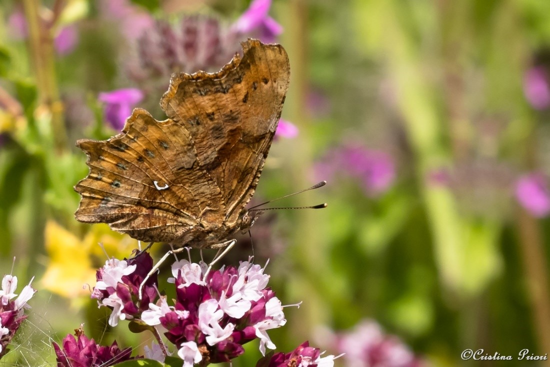 Comma (Polygonia c-album) feeding on a … flower at Berengrave Nature Reserve (Rainham). The white, c-shaped spot underwing gives her common name