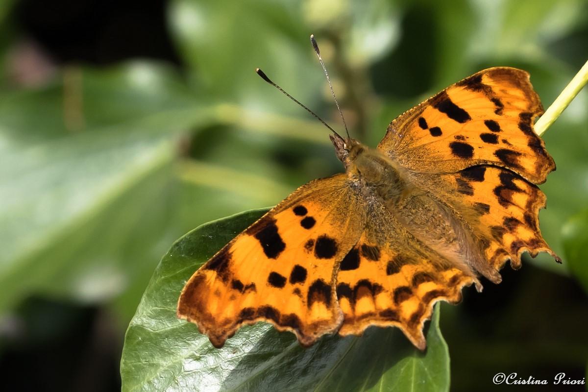Comma (Polygonia c-album) in full splendour on a ivy leaf at Berengrave Nature Reserve (Rainham)
