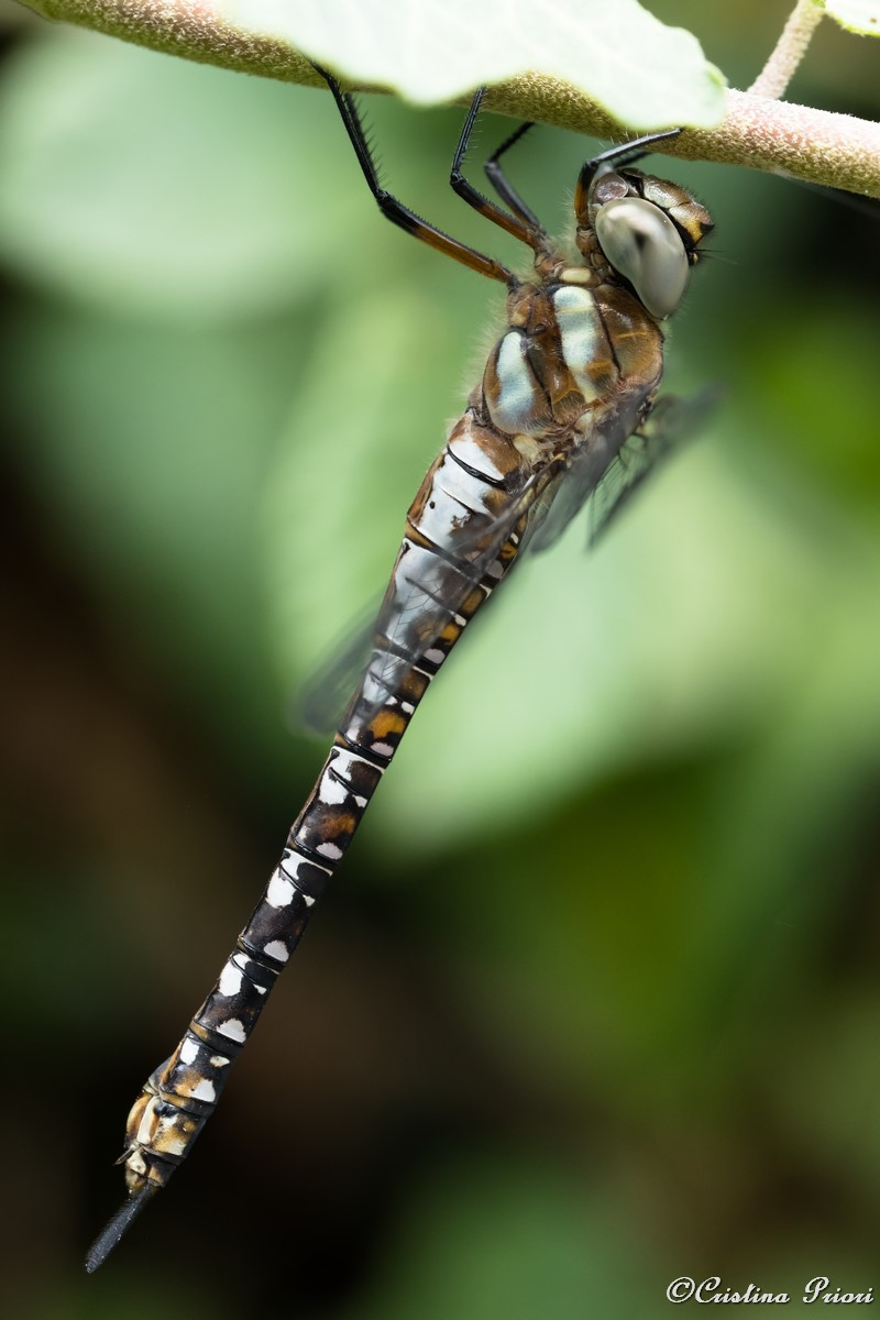 Dragonfly hanging from a ivy branch at Berengrave Nature Reserve - Rainham