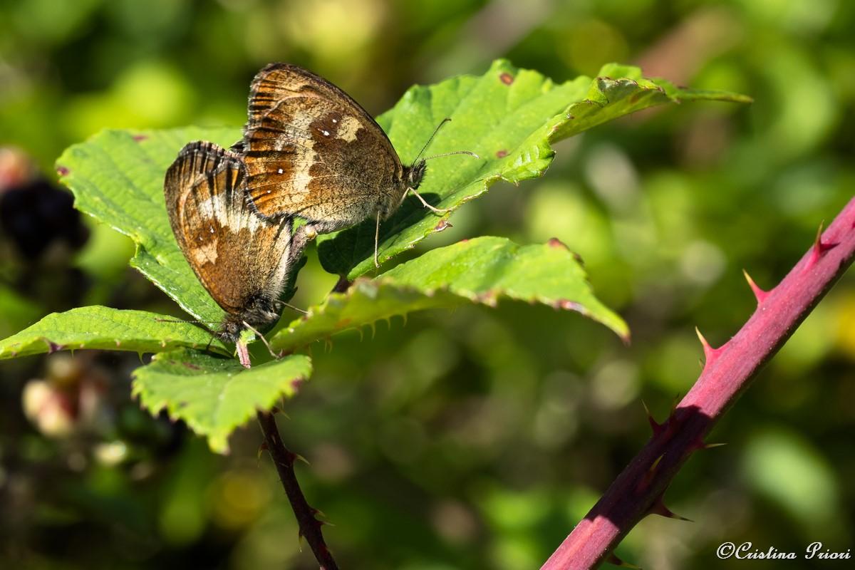 Gatekeeper (Pyronya tithonus) mating couple on a bramble leaf at Darland Banks