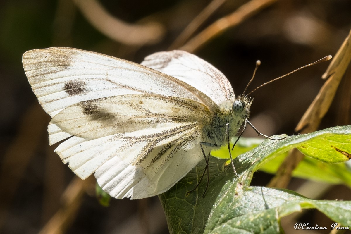 Green-veined White (Pieris napia) resting on a bramble leaf at Darland Banks