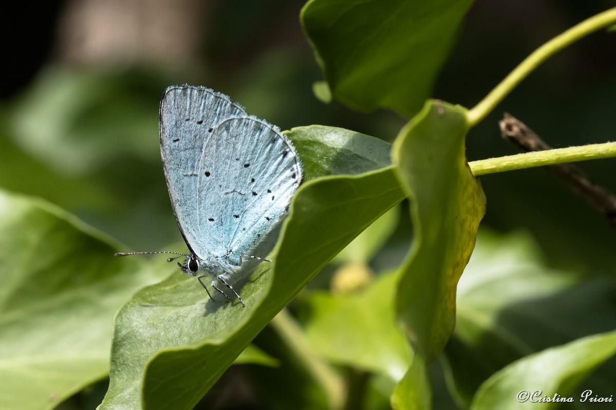 Holly Blue (Celastrina argiolus) resting on an ivy leaf at Darland Banks