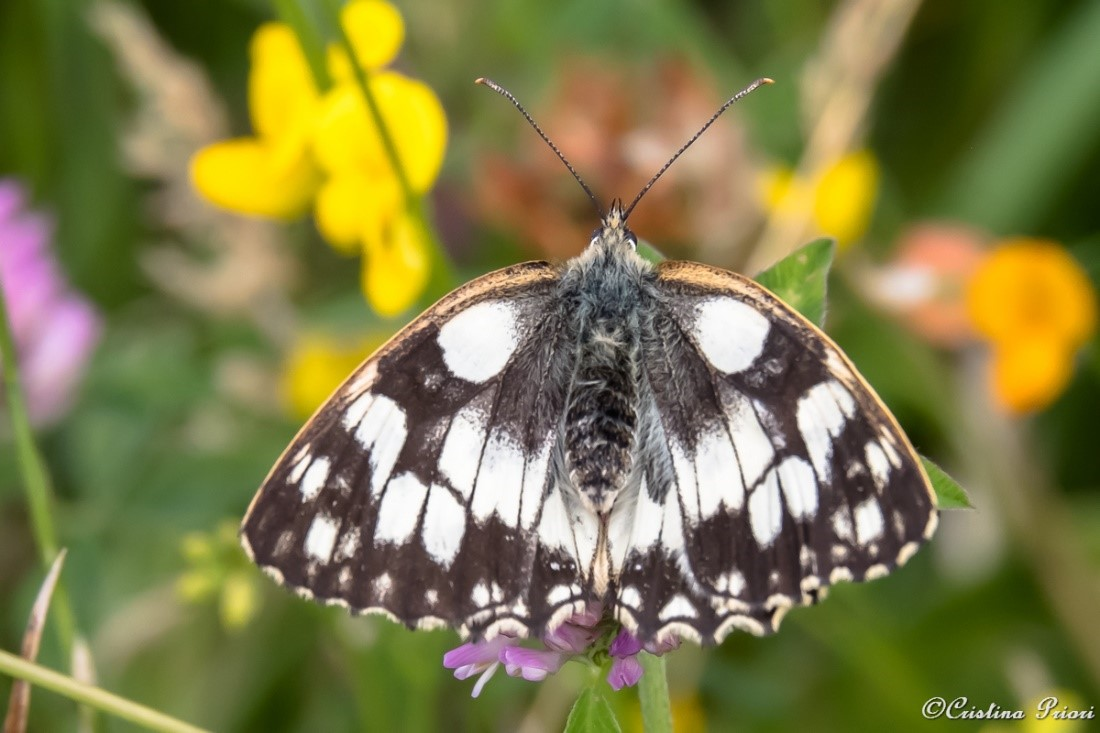 Marbled White (melanargia galathea) among flowers along the River Medway shore. The yellowish border of the forewings identifies this specimen as a female