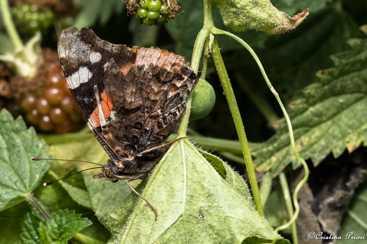Red Admiral (Vanessa atalanta) – underwing – resting on a bramble leaf at Riverside Country Park