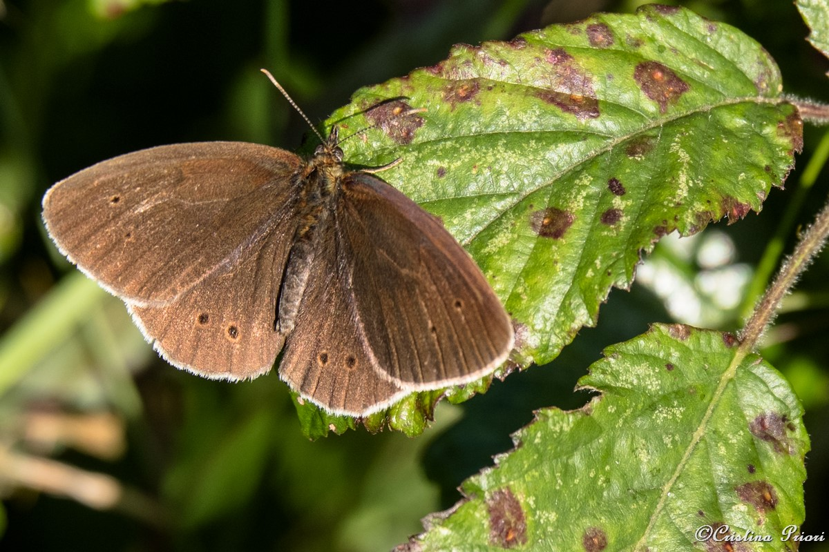 A Ringlet (Aphantopus hyperantus) resting on a bramble leaf at Riverside Country Park