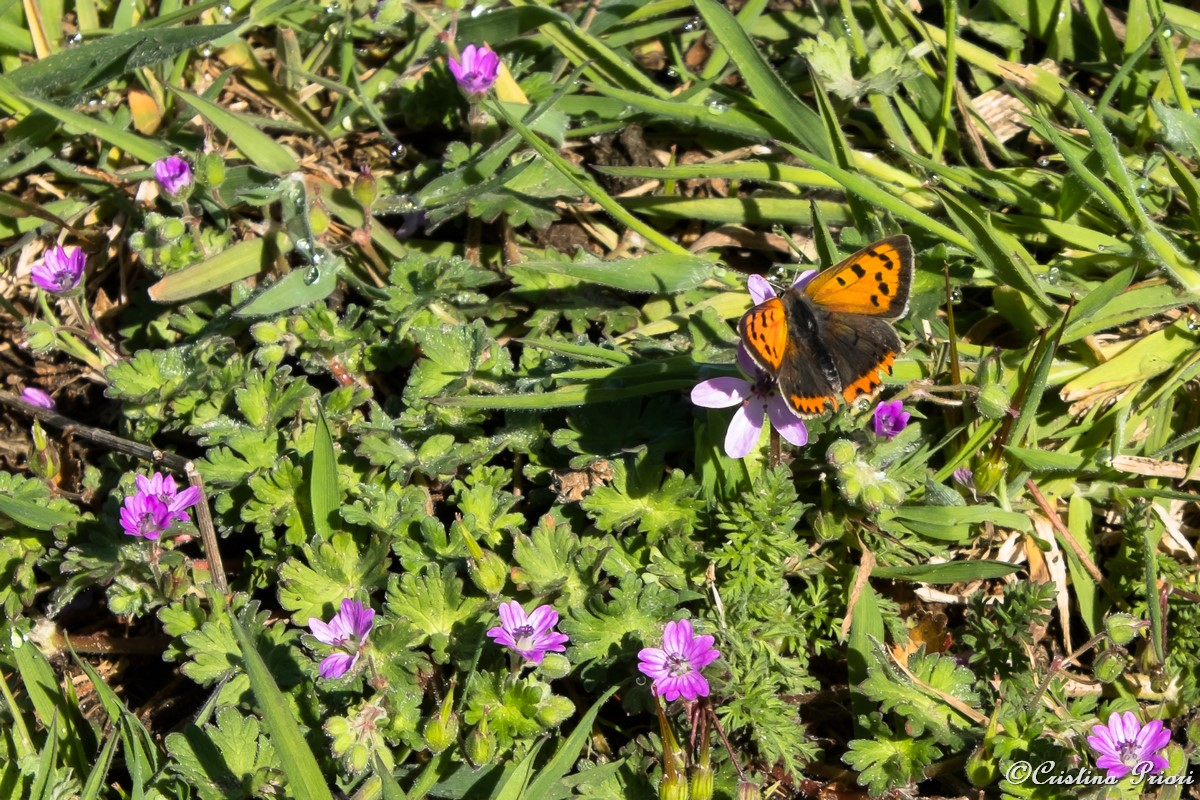A Small Copper (Lycaena phlaeas) among Mallow flowers at Motney Hill