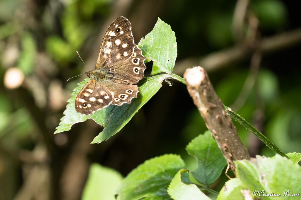 A Speckled Wood (Pararge aegeria) – upperwing –on a bramble leaf at Berengrave Nature Reserve – Rainham