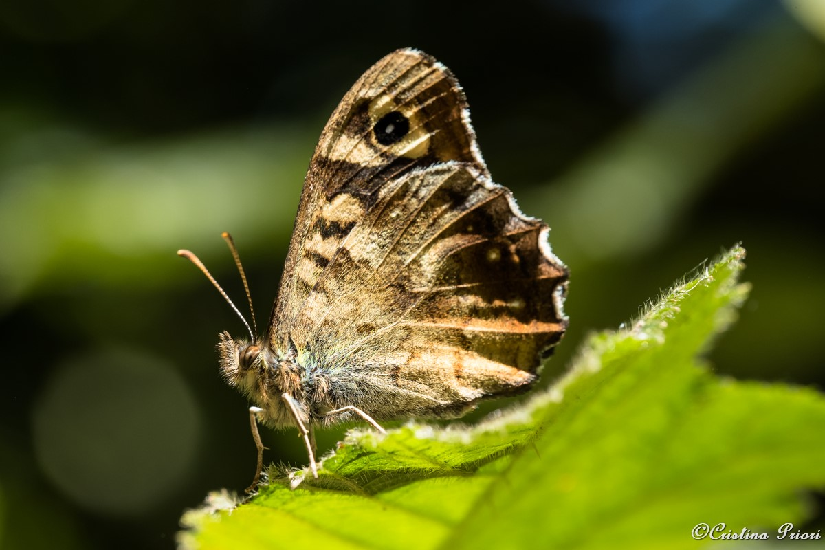 A Speckled Wood (Pararge aegeria) – underwing – perfectly posing on a bramble leaf at Berengrave Nature Reserve – Rainham