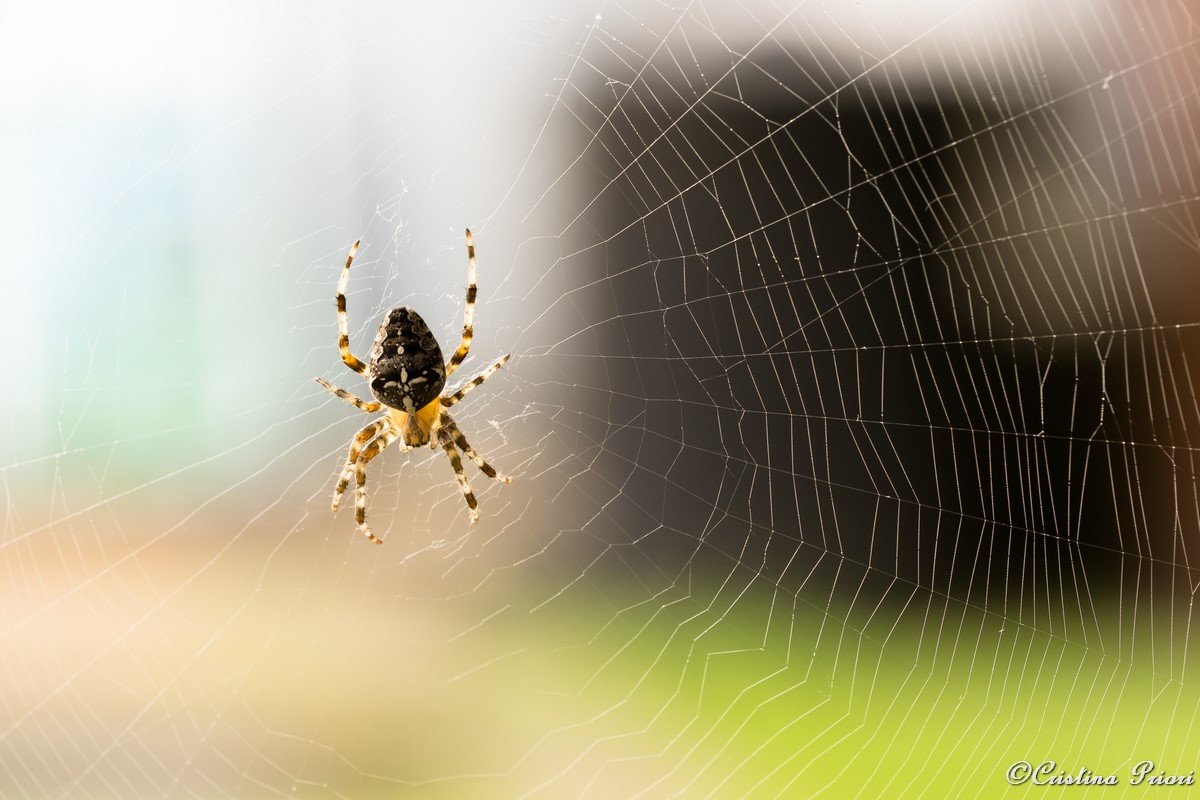 A spider on its web in a private garden at Gillingham