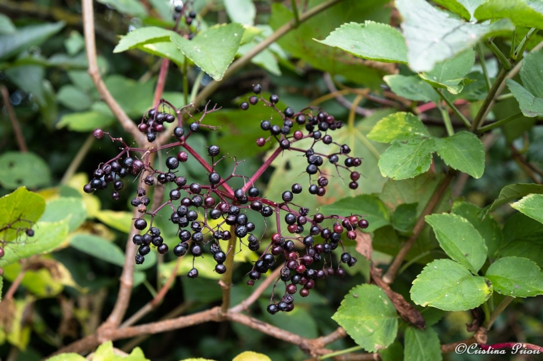Elderberries at Riverside Country Park – not much left, though