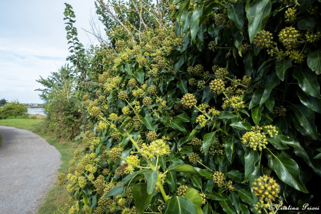 A hedgerow of ivy at Riverside Country Park