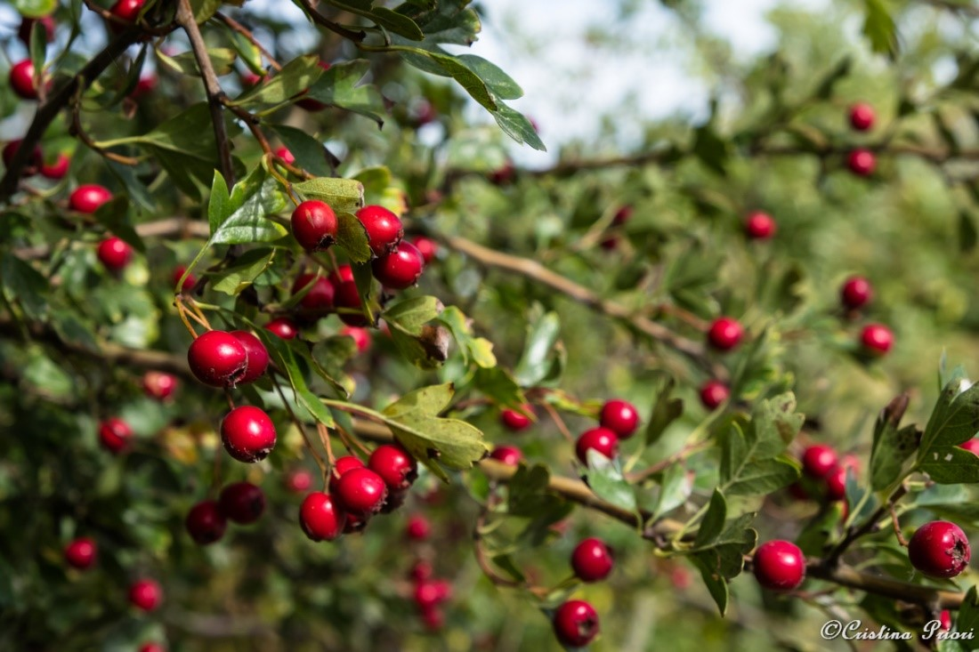 Hawthorne berries at Riverside Country Park