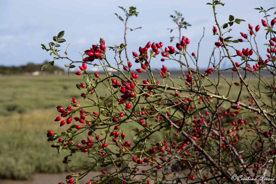 Rosehips close to Horrid Hill