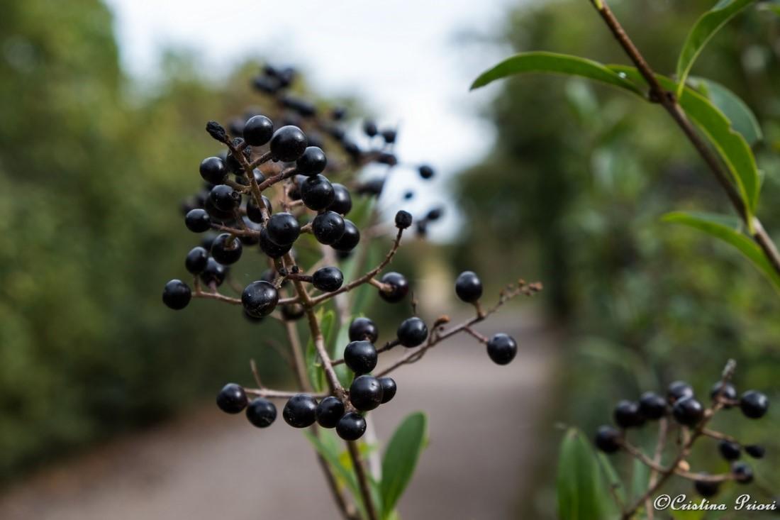 Wild privet berries at Riverside Country Park