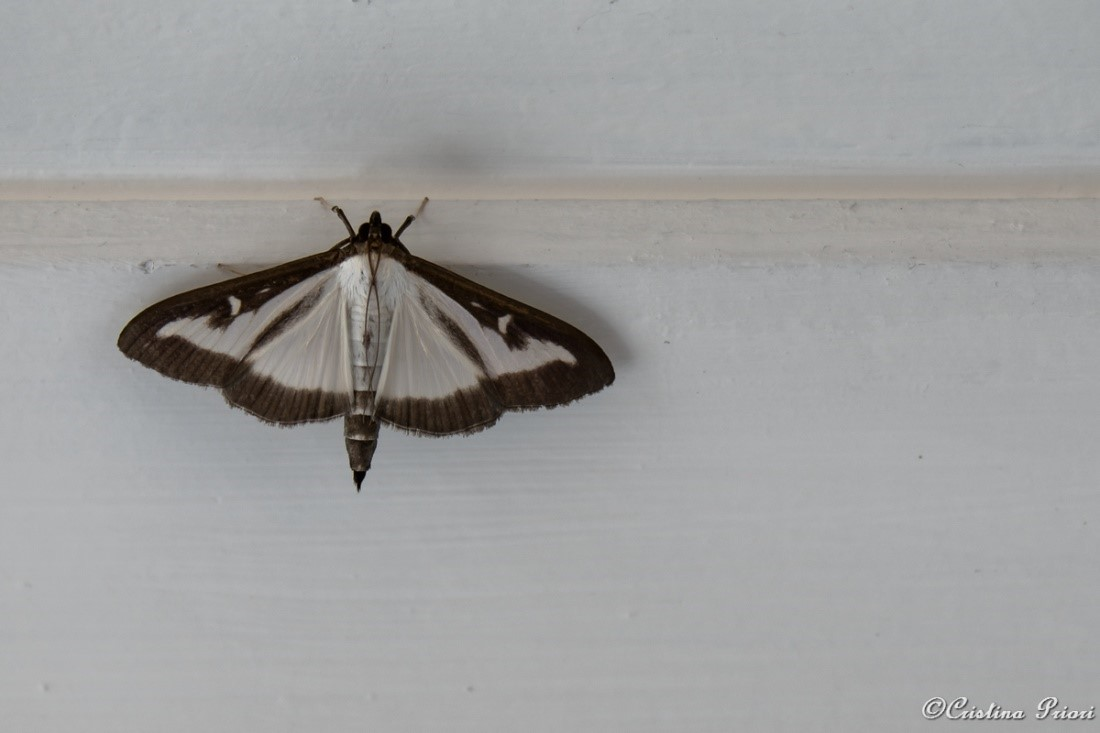 A Box-tree moth (Cydalima perspectalis) in a private house in Gillingham