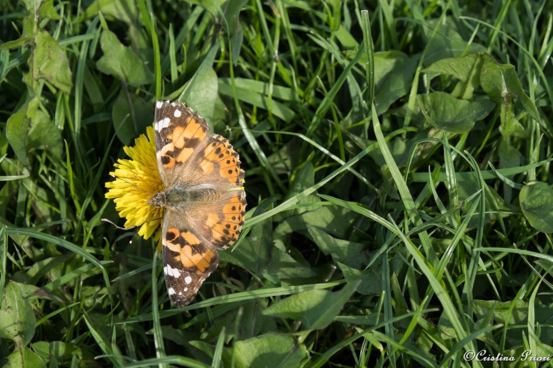A Painted Lady (Vanessa cardui) basking in the sun on a warm day at Riverside Country Park