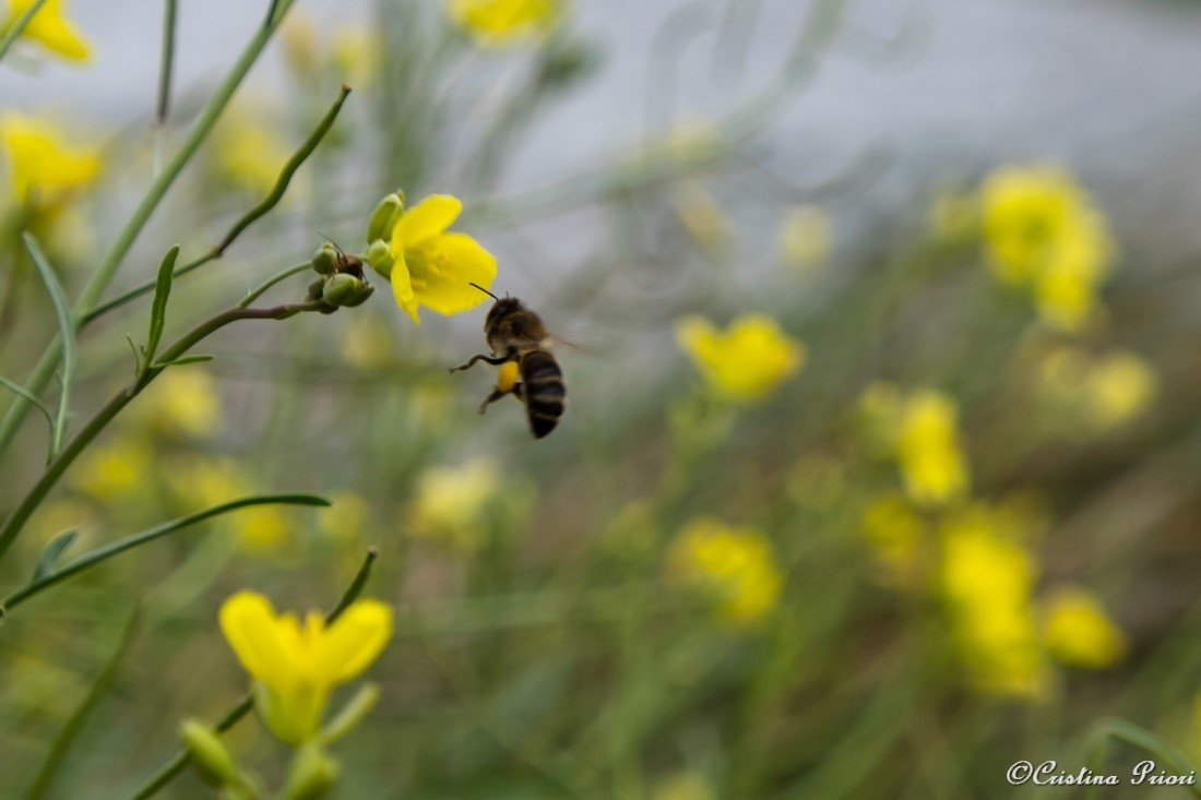 A Bee working hard to build the food reserves for winter – Riverside Country Park