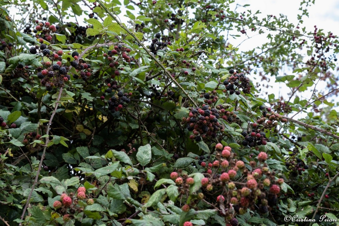 Blackberries both mature and still ripening at Riverside Country Park