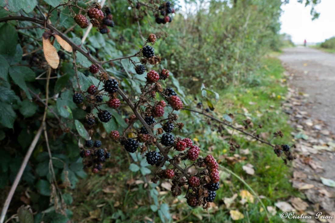 Blackberries along the main path at Riverside Country Park
